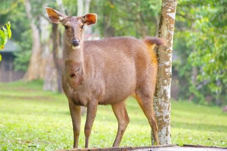 Wild deer in Khaoyai National Park, Thailand