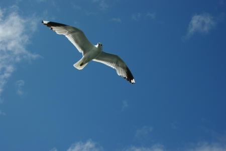 Seagull flying in the blue sky along fjord cruise near Flaam, Norway