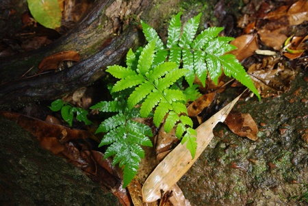 Wet green fern after light rain in a tropical rain forest