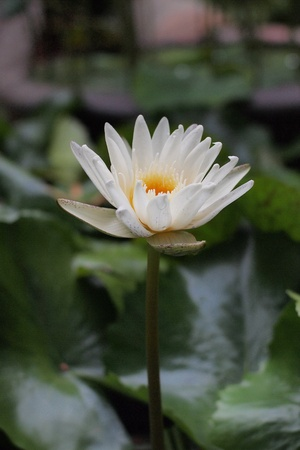 White blooming lotus