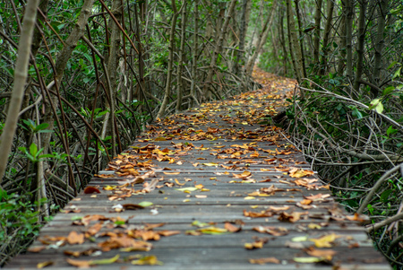 Selective focus picture of many dried leaves on the wooden walkway in the mangrove forest
