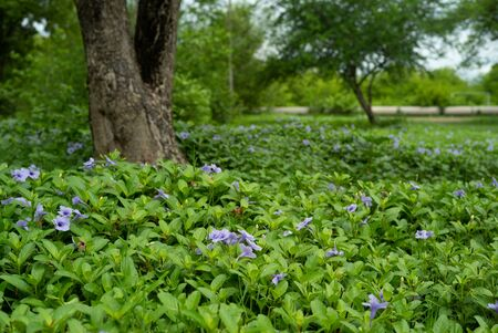 Landscape field of little purple blossom flowers and green bush in outdoor ground with blurred old tree in background Archivio Fotografico - 126712796