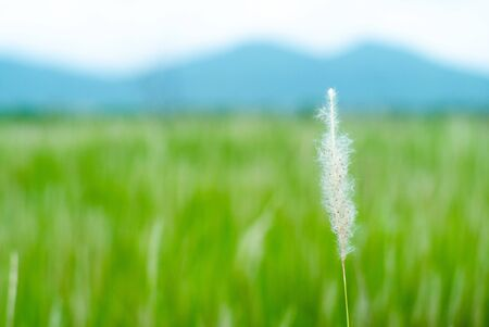 Selective focus on closeup flower grass with blurred rice farm and mountain in background Archivio Fotografico - 126645919