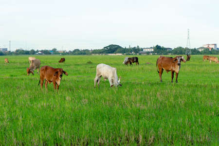 Group of cows eat the grass in the large field with cityscape background