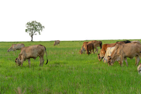 Group of cows eat the grass in the large field isolated on white background