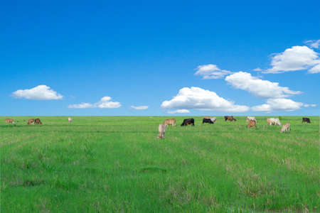 Group of cows eat the grass in the large field with blue sky background