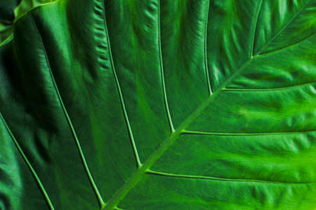 Closeup top view of elephant ear leaves Reklamní fotografie
