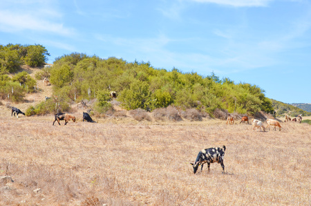 Amazing herd of goats grazing in the hills of Karpas Peninsula in the Turkish part of Cyprus. This remote region of Northern Cyprus is an off the beaten track destination with almost no tourists. 写真素材