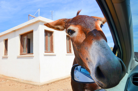 Wild brown donkey with his had in opened car window. White building in the background. Taken in Karpas Peninsula, Turkish Northern Cyprus. Wild donkeys are popular attraction of this Cypriot region. 写真素材