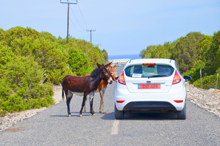 Karpaz Peninsula, Turkish Northern Cyprus - Oct 3rd 2018: Two cute donkeys standing on the countryside road by the car with tourists. Wild donkeys are local attraction. Taken on a sunny summer day.