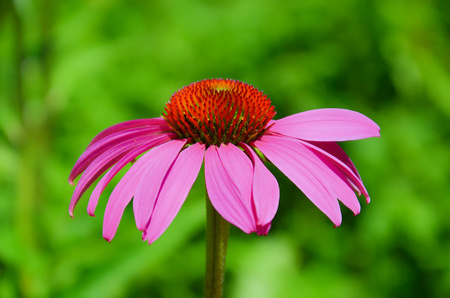 Beautiful purple coneflower, or Echinacea purpurea, close up with blurred green background. The wonderful flower has bright purple leaves and spiny red center.