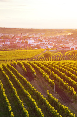 Vertical picture capturing beautiful vineyards near picturesque village Velke Pavlovice in Southern Moravia, Czechia. Photographed in orange sunset light. Popular tourist spot. Imagens