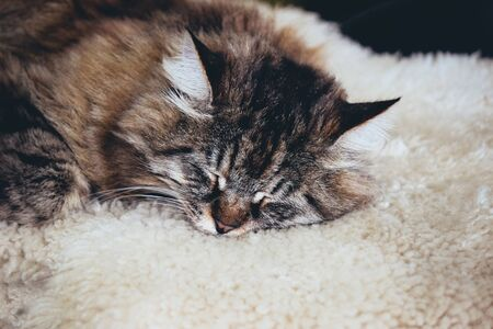 Adorable sleeping grey cat. Grey kitty takes a nap. The cat is lying on white fluffy blanket. Empty space for text, place for text. Sullen cats. Concept, conceptual.