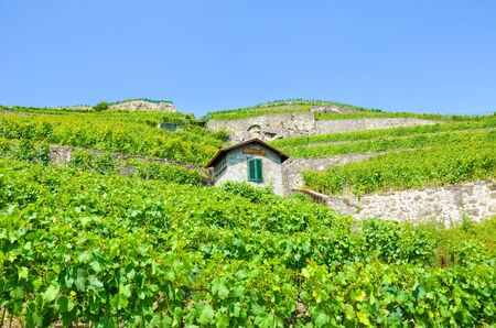 Beautiful green vineyards on hills by Geneva Lake, Vaud, Switzerland. Famous Lavaux wine region. Lonely building in vineyards. Switzerland summer. Wine making, viticulture, winery.