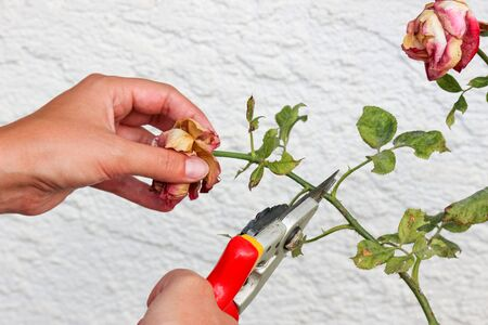 Detail of woman hands pruning roses with garden scissors. White wall with pattern in background. Dry roses. Rose leaves with spot. Plant diseases. Trimming. Gardening.