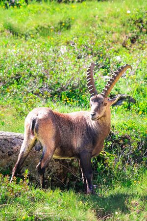 Male of Alpine ibex standing on green pasture near Chamonix in French Alps captured on vertical picture. Wild goat, horns. Steinbock, bouquetin, or simply ibex. Wildlife animals. Mountain animals.
