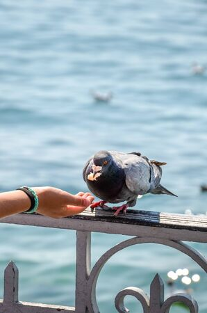 Vertical photo of woman hand feeding pigeon. Blurred water in the background. Feeding pigeons, birds, animals. In some countries, feeding pigeons might be considered as a criminal offense. Illegal.