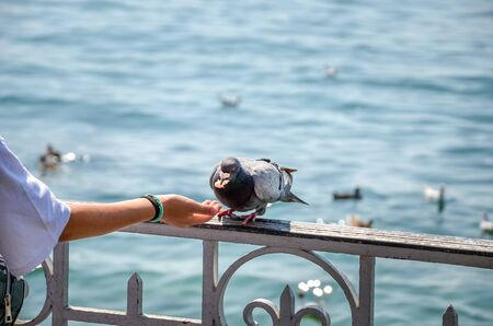 Woman hand feeding pigeon by the lake. Water in the background. Feeding pigeons, animals. Birds in the city. Feeding birds might be illegal in some countries. Ban, forbidden.