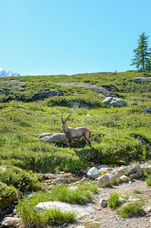 Alpine Ibex on a hill in the French Alps close to Chamonix-Mont-Blanc. Wild goat, mountain goat. Alpine landscape in the summer. Snow-capped mountains in the background. Vertical picture. Stock Photo