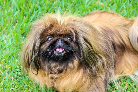 Beautiful brown long-haired Pekingese dog, adult female. Also known as Pekinese, Beijing Lion Dog or Chinese Spaniel. Purebred, pedigree. Photographed outdoors, green grass background.