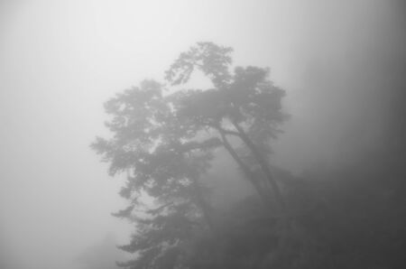 Scary horror tree in dark foggy forest. Horror, mysterious, fantasy atmosphere. Misty landscape, moody. Halloween background. Black and white photography.