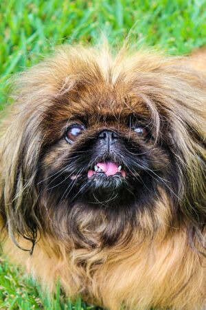 Cute brown long-haired Pekingese dog, adult female. Also known as Pekinese, Beijing Lion Dog or Chinese Spaniel. Purebred, pedigree. Photographed outdoors, green grass in the background.