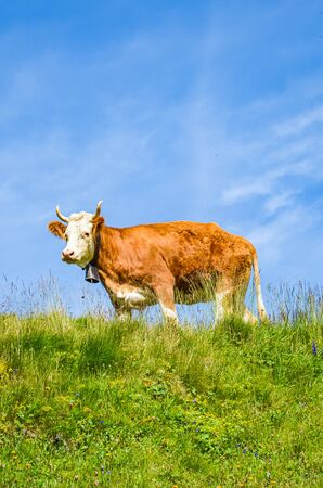 Single brown cow standing on the green Alpine pasture. Blue sky above. Cattle on the field. Cows grazing in the Alps. Farm animals. Animal rights concept. Vertical photography.