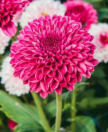 Chrysanthemum Red flowers of love popular for chrysanthemum Red to reflect the love each.