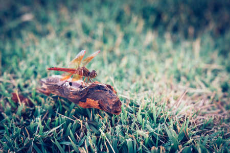 Dragonfly clinging to a blade of grass, select focus,vintage Reklamní fotografie