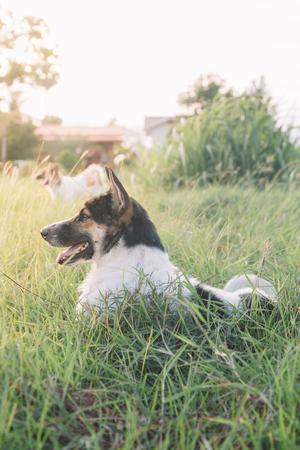 Thai dog in the garden.