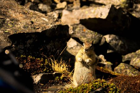Small and cute squirrel in the Rocky Mountains, Banff National Park, Alberta, Canada.