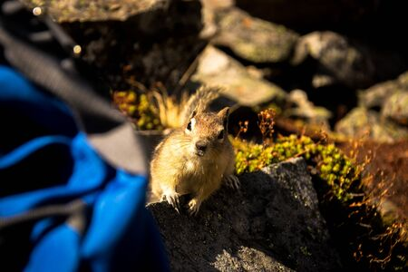 A cute squirrel in the Rockies is trying to steal some nuts from unsupervised backpack. Banff National Park, Alberta, Canada. Imagens