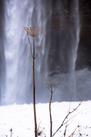 Detail of plant with waterfall background in Iceland, Europe. Go explore Viking`s land in wintertime.  Banque d'images
