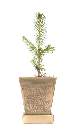 a tree in flowerpot, isolated on white