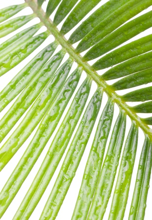 cycas: a macro of cycas, isolated on white