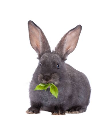 nibble: a rabbit,isolated on white