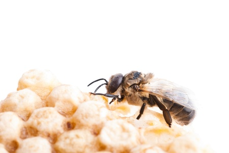 a bee on a honeycomb Stock Photo