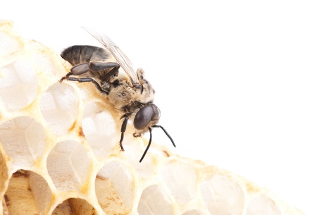 a bee on a honeycell, macro