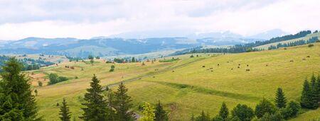 cow on grassland on mountain, panorama photo