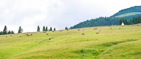 cow on grassland on mountain photo