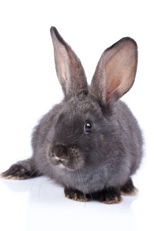 a rabbit, isolated on white