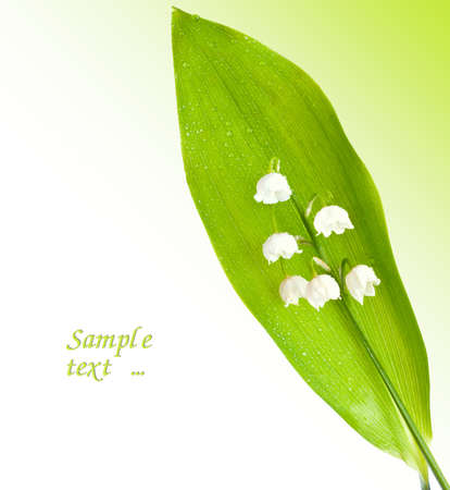 lily of the valley, isolated on white photo