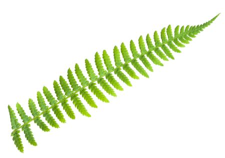 a fern, isolated on whte photo