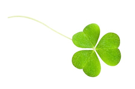 a clover isolated on white Stock Photo - 12936796