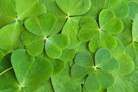 clover: a texture from clover leaves