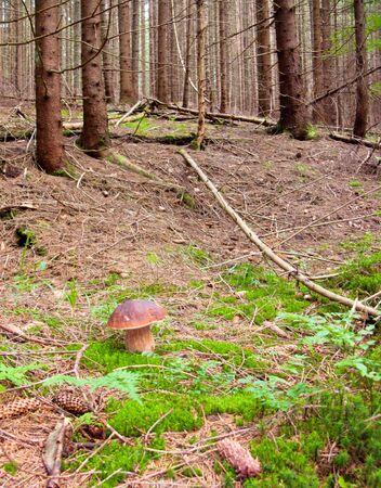 reticulatus: a mushroom in a wood Stock Photo