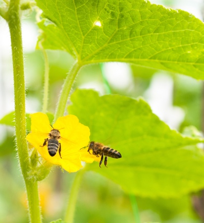 a bee and flower of cucumber photo