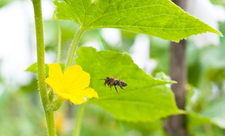 a bee and flover of cucumber photo