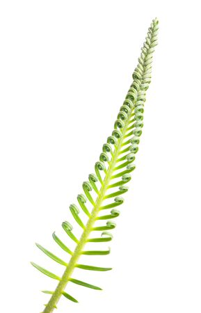 cycas: a cycas, isolated on white Stock Photo