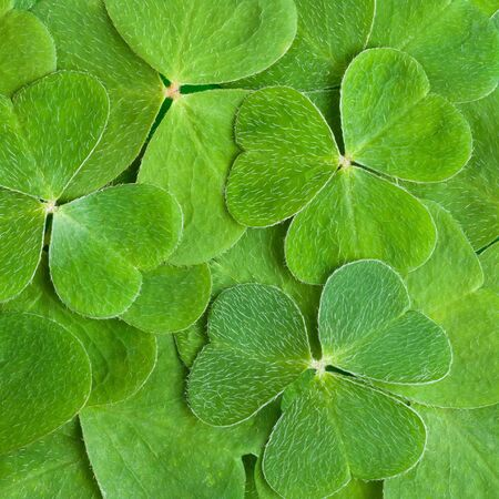 a texture from clover leaves Stock Photo - 13032453